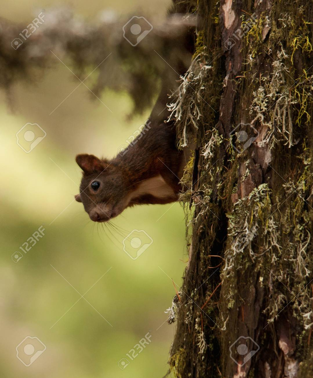 squirrel Stock Photo - 7991471
