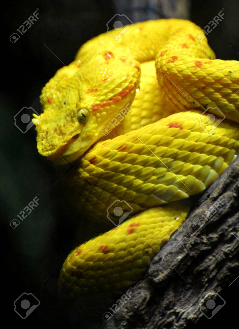 Eyelash Viper Bothriechis Schlegelii Stock Photo Picture And