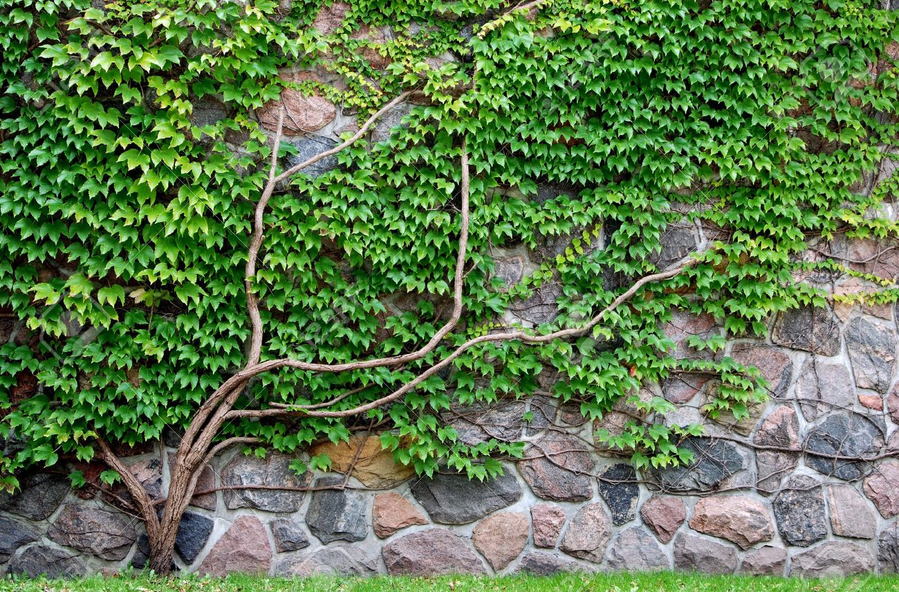 Climbing vines for walls - Vine Growing On A Rock Wall Stock Photo 5587978