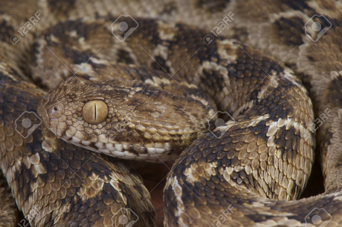 Egyptian Saw Scaled Viper Echis Pyramidum Stock Photo Picture And