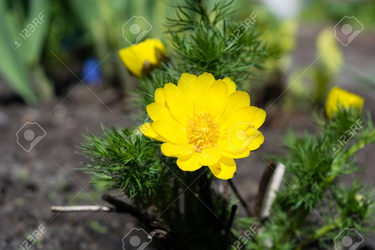 Beautiful spring yellow flowers pheasants eye adonis vernalis beautiful spring yellow flowers pheasants eye adonis vernalis stok fotoraf 62614879 mightylinksfo