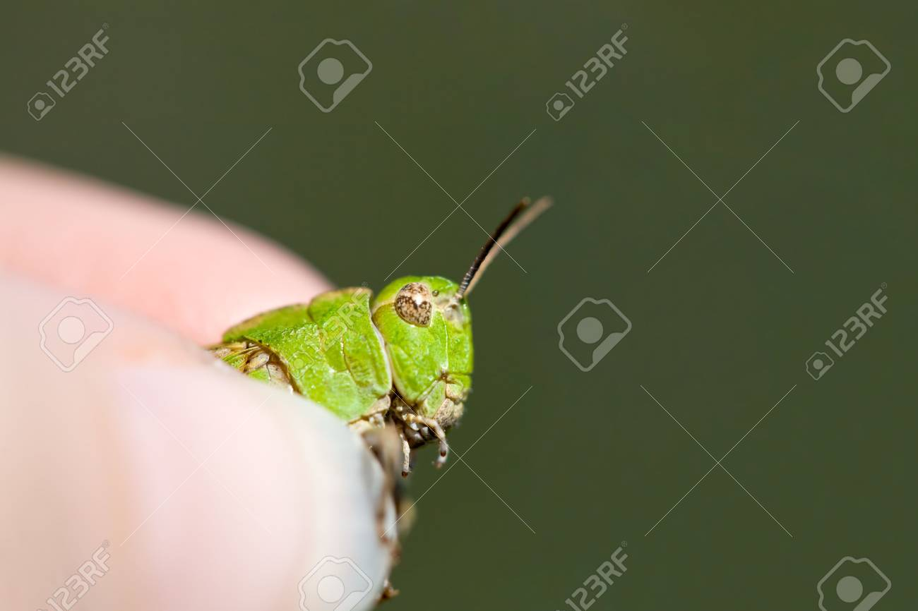 Grasping a Green Grasshopper in Grimy Grip Stock Photo - 3385782