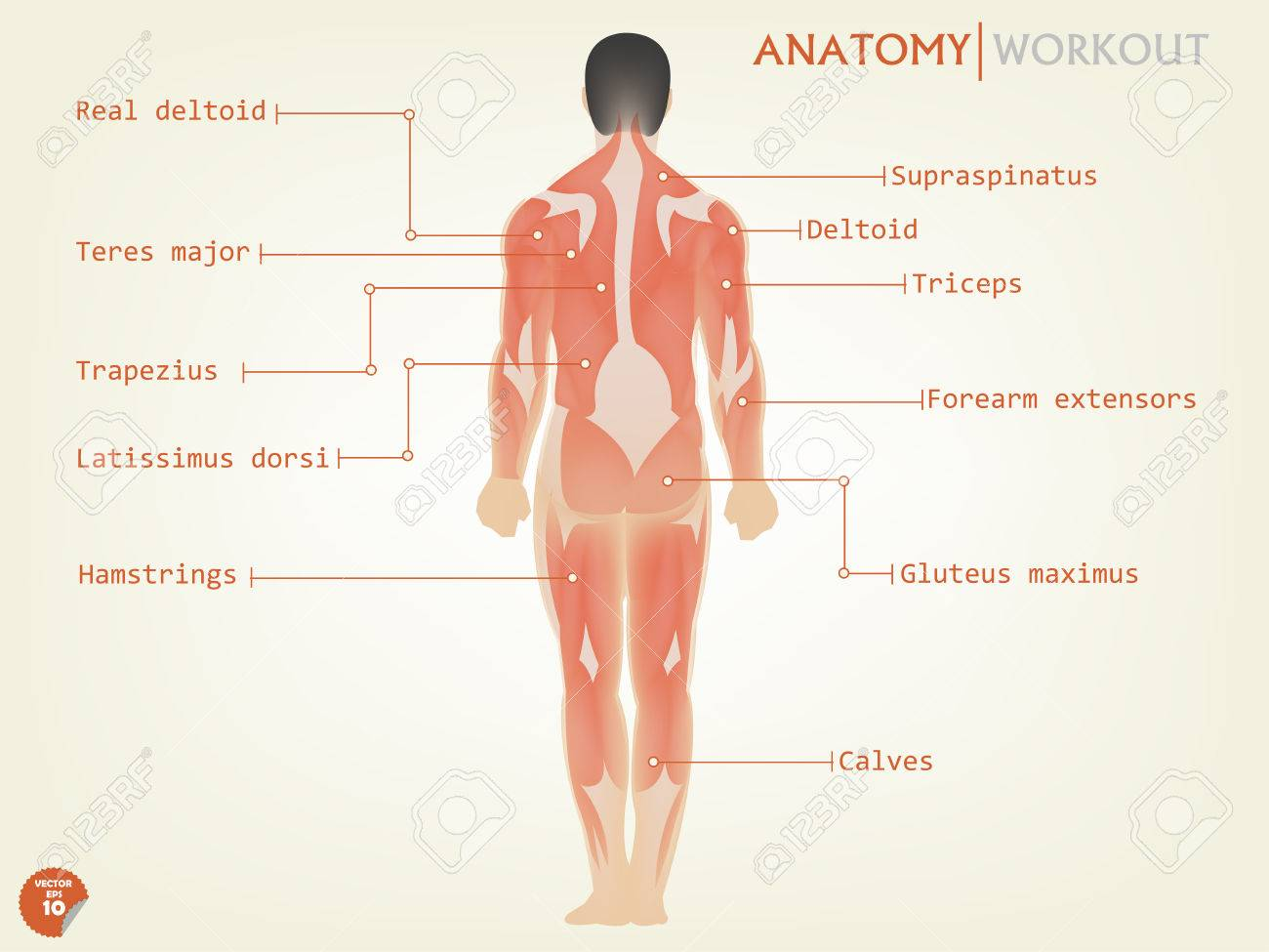Beautiful Design Of Human Anatomy Back Side With Description Royalty
