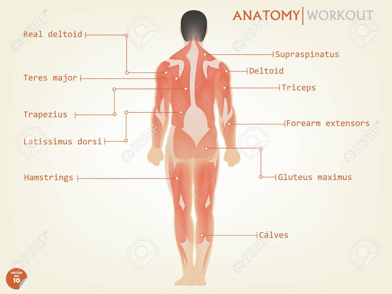 Schönes Design Der Menschlichen Anatomie Rückseite Mit Beschreibung ...
