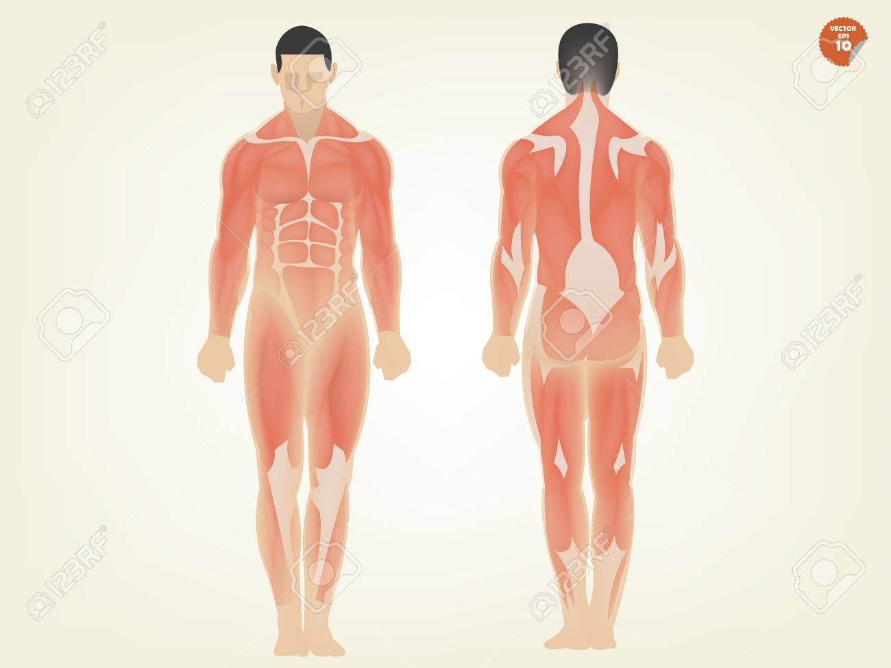 Beautiful Design Of Human Anatomy Front Side And Back Side Royalty ...