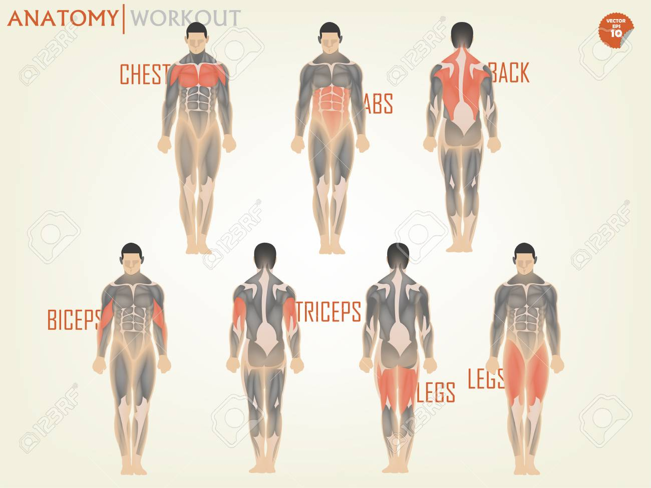 Beautiful Design Of Anatomy For Working Out At The Gym Consist ...
