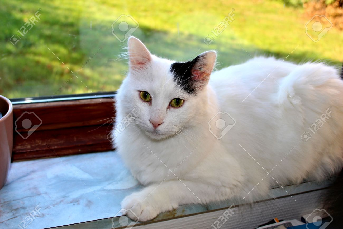8c786c618e Stock Photo - white og black cat breed Turkish Van Vankedisi or Turkish  Angora