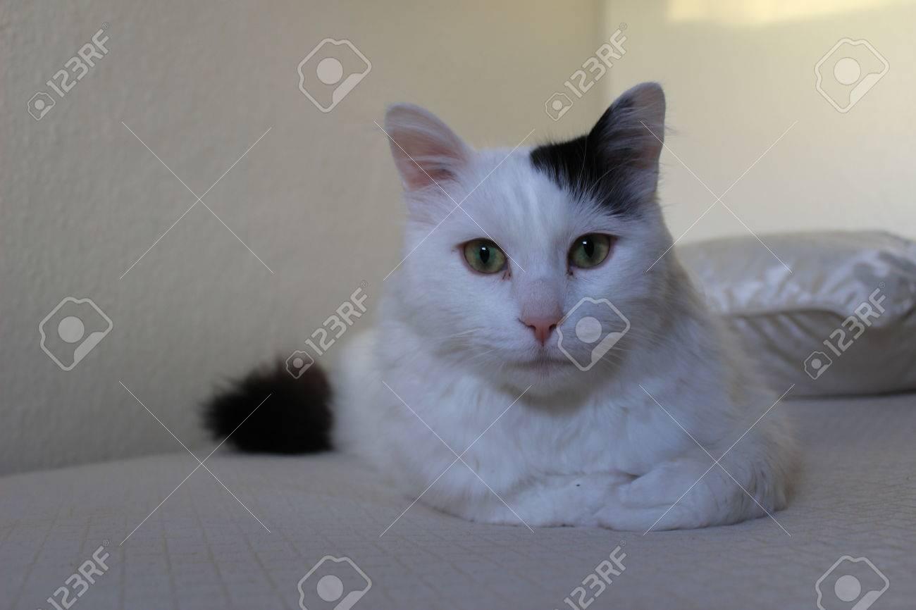 8c786c618e Stock Photo - white og black cat breed Turkish Van Vankedisi or Turkish  Angora