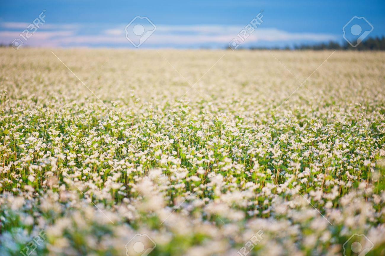 Field Of Buckwheat With White Flowers Stock Photo Picture And