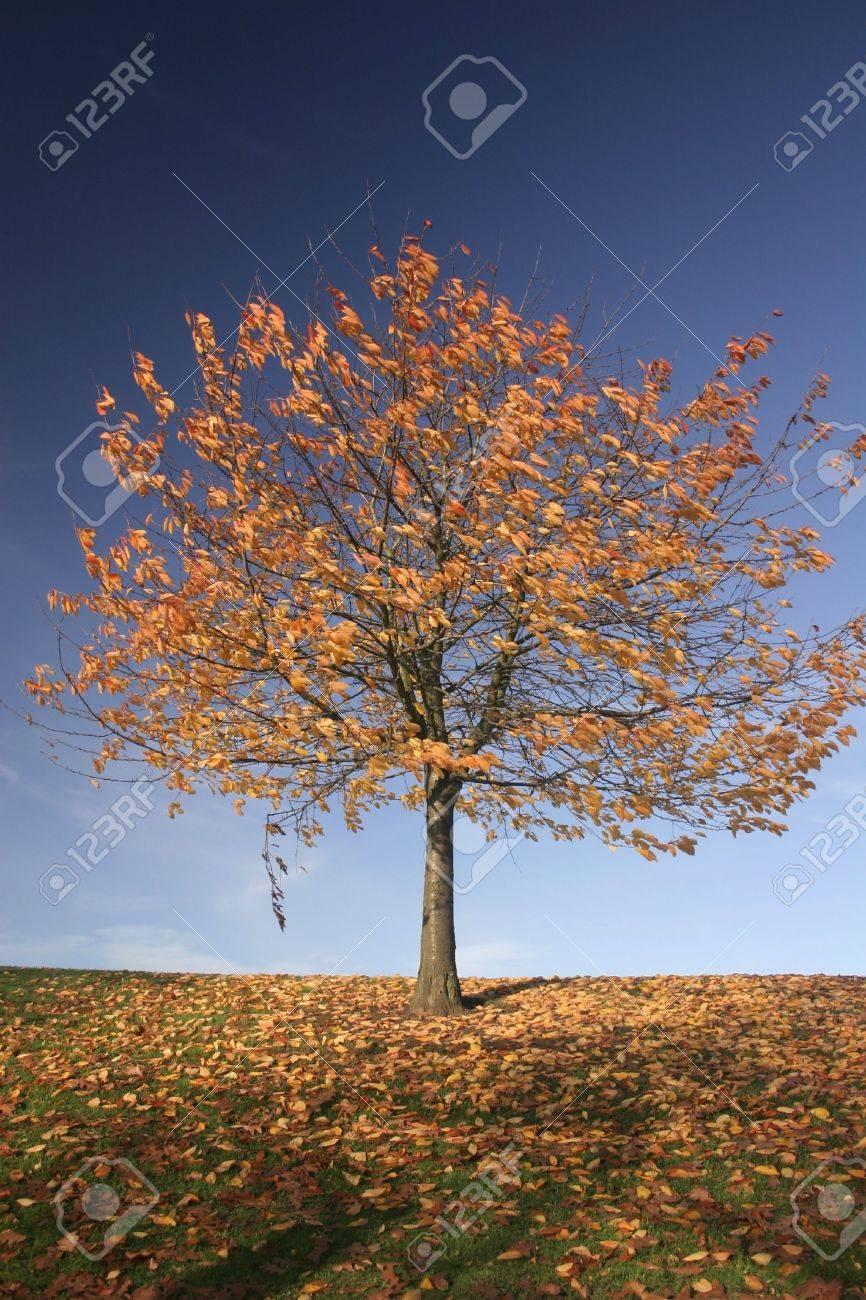 Single Herbst Baum Verliert Seine Goldenen Blatter Lizenzfreie Fotos