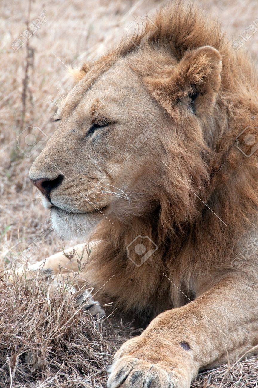 African lion Stock Photo - 13695917