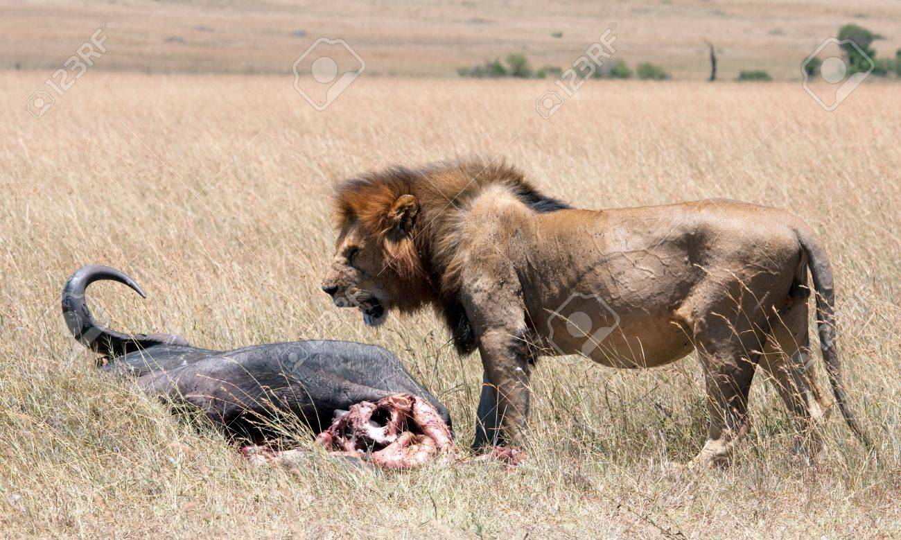 Up close   personal with a male lion   his prey in the Mara Stock Photo - 15882159