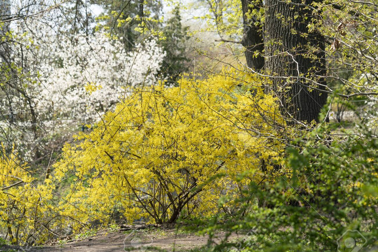 First Spring Flowers In The Park Yellow Forsythia Shrub And