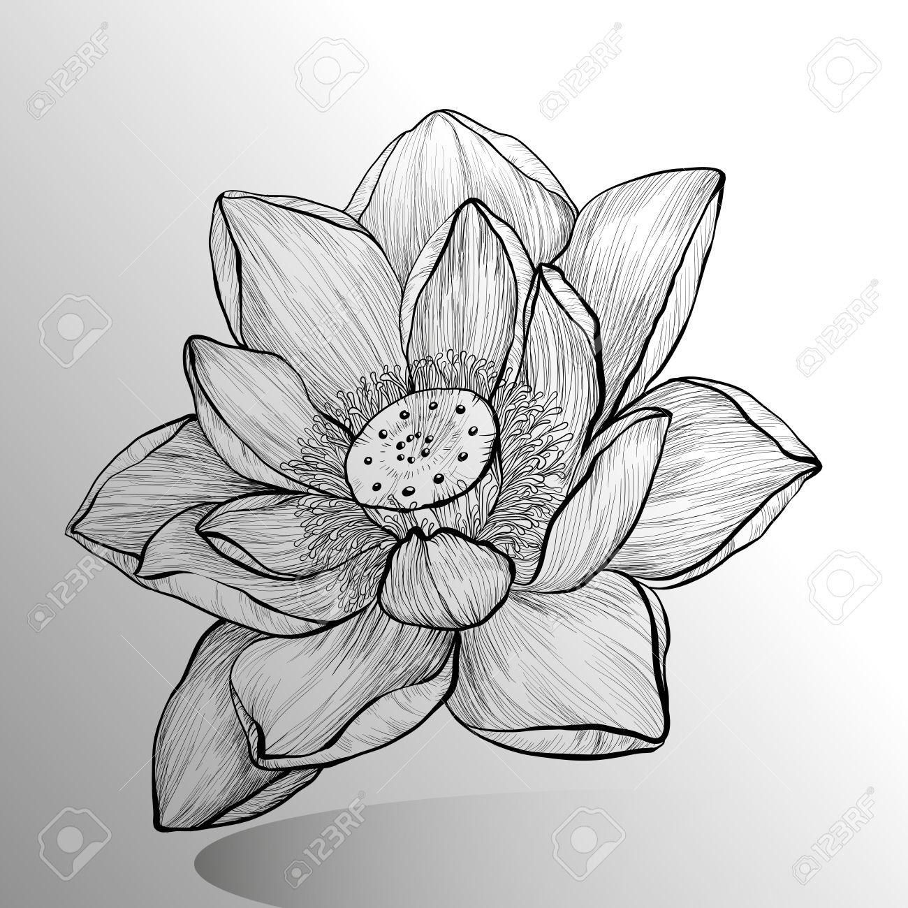 Hand drawn lotus flower sketch royalty free cliparts vectors and hand drawn lotus flower sketch stock vector 44639298 izmirmasajfo