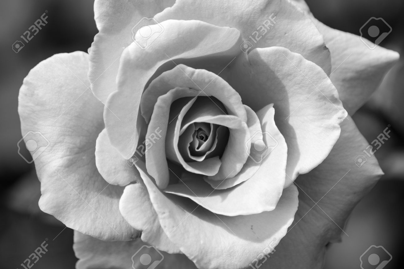 Pretty Wedding Flower Rose Black And White Stock Photo Picture And
