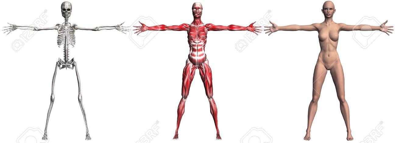 Ilustración Anatómica De Los Músculos Y El Esqueleto De Una Mujer ...