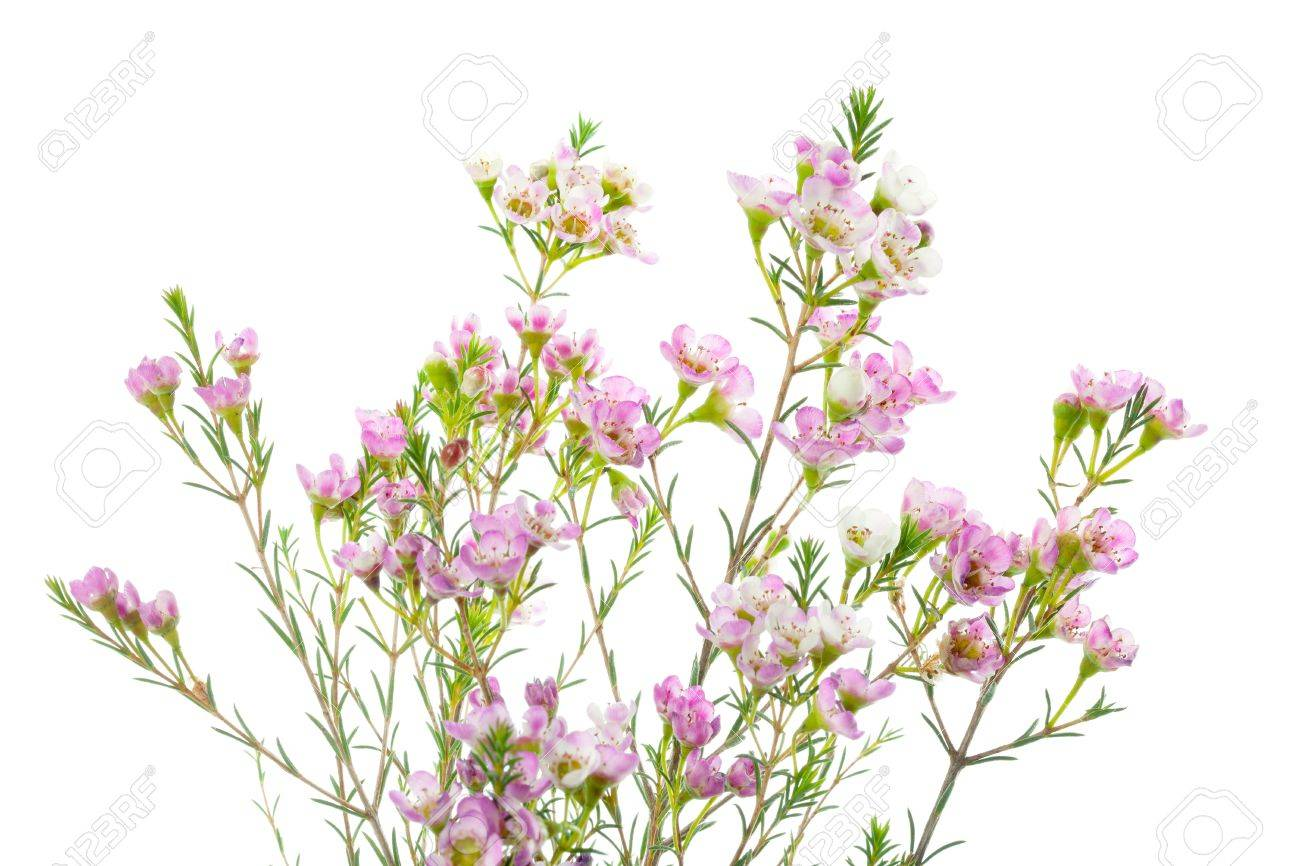 Closeup Of Waxflower Plant Isolated On White Background Stock Photo