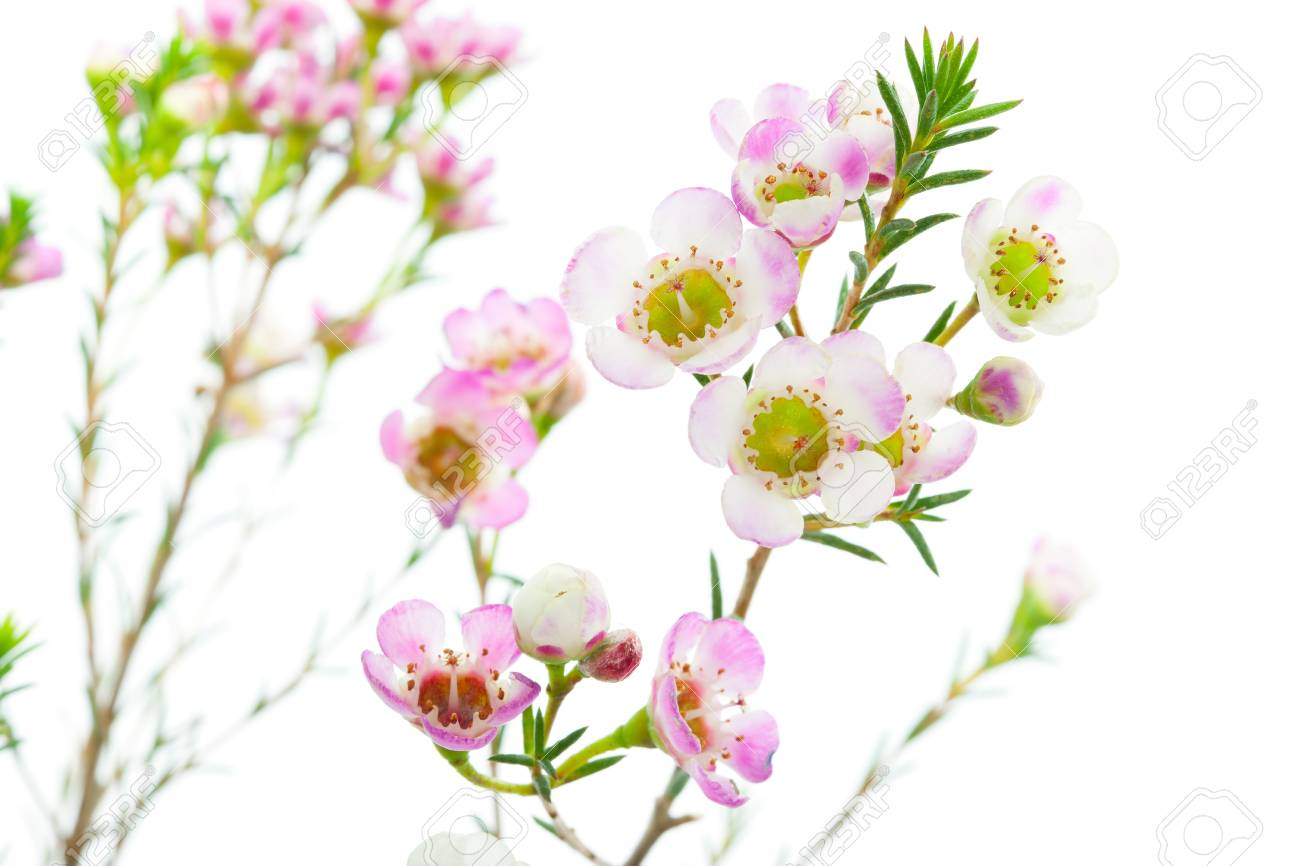 Macro Closeup Of Waxflower Plant Isolated On White Background Stock