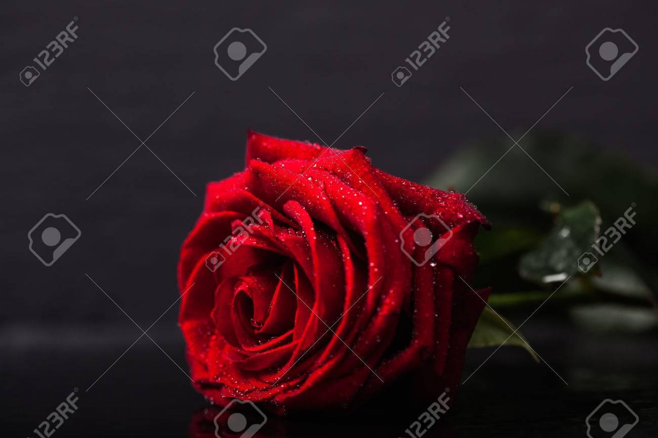 Immagini Stock Rosa Rossa Con Gocce Dacqua Su Ardesia Sfondo
