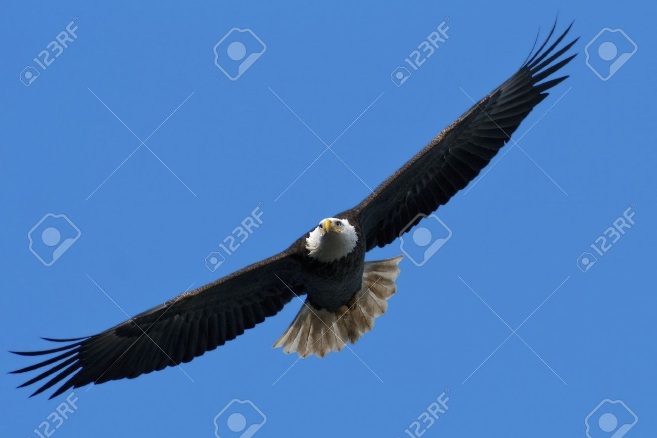 The national bird of the United States, the Bald Eagle, in flight against a blue sky background. Stock Photo - 11744743