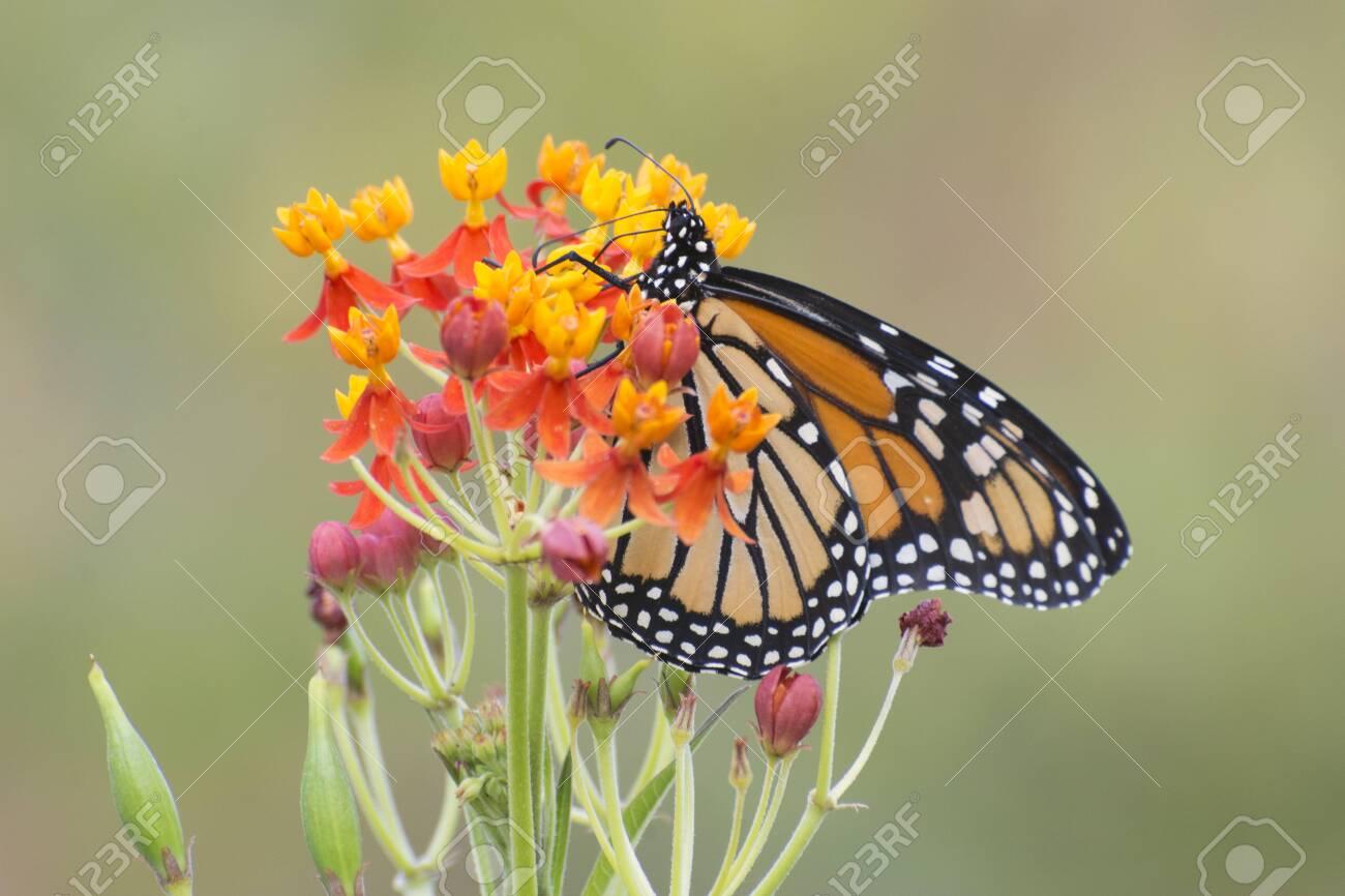 Butterfly 2019-155 / Monarch butterfly (Danaus plexippus) - 138265506