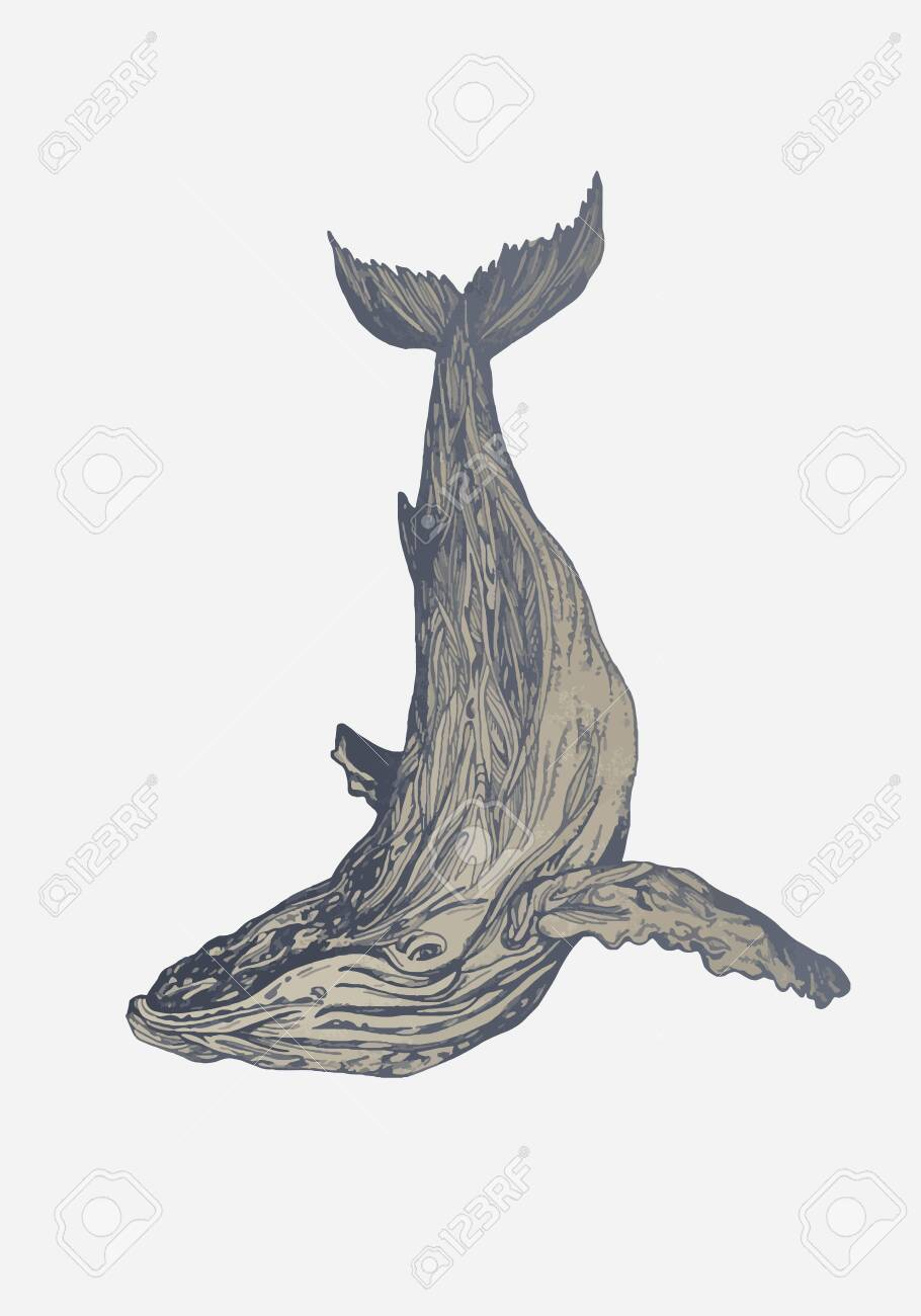 Hand drawn vector humpback whale. Sketch engraving illustration - 135478543