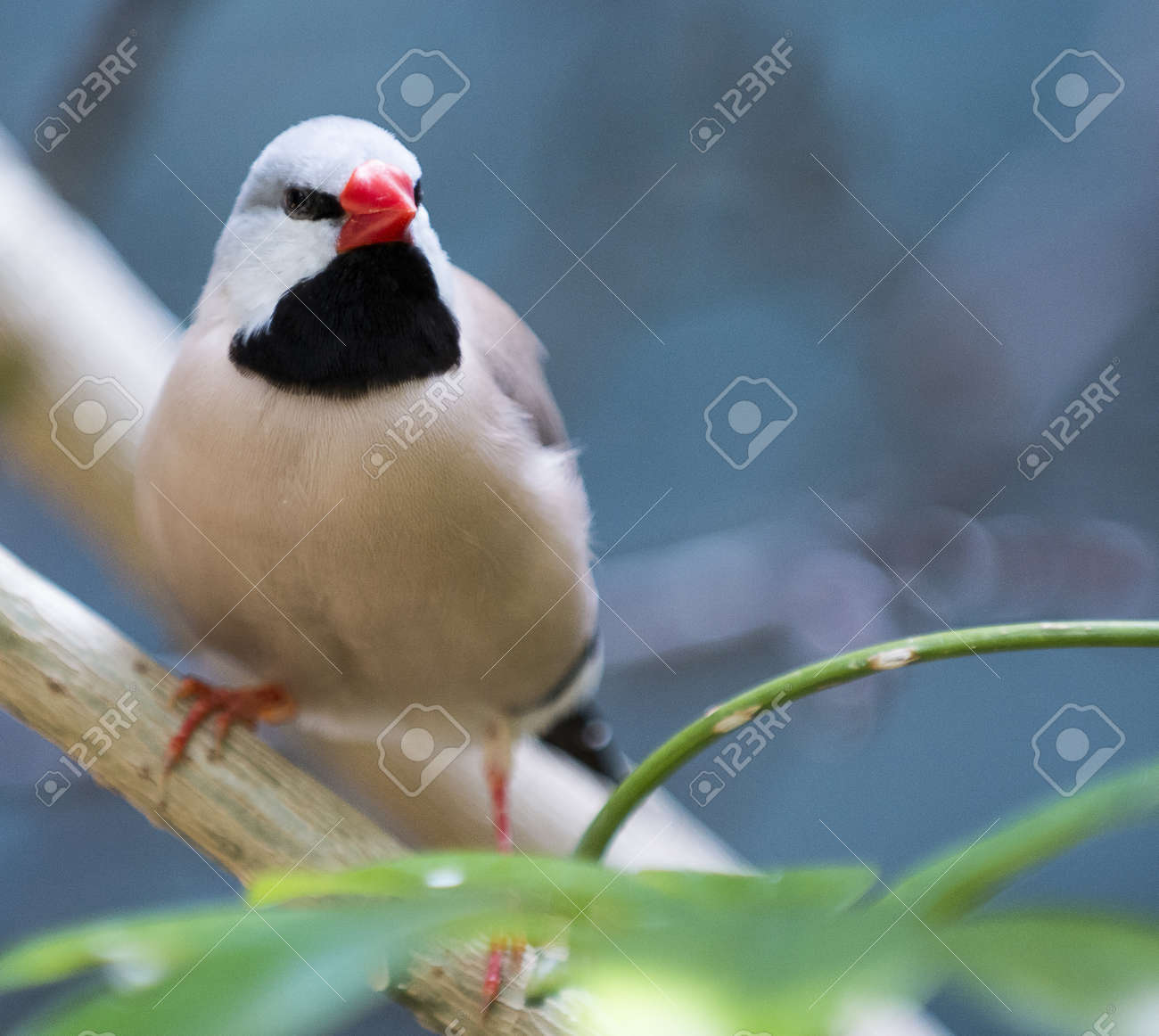 Closeup photo of a beautiful Shaft-Tail Finch bird with a black chest and orange feet and beak Stock Photo - 21024119