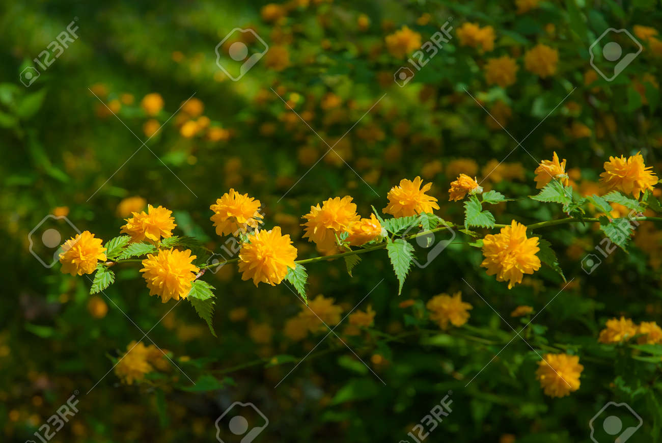 Beautiful Photo Of A Yellow Flowering Shrub Stock Photo Picture And
