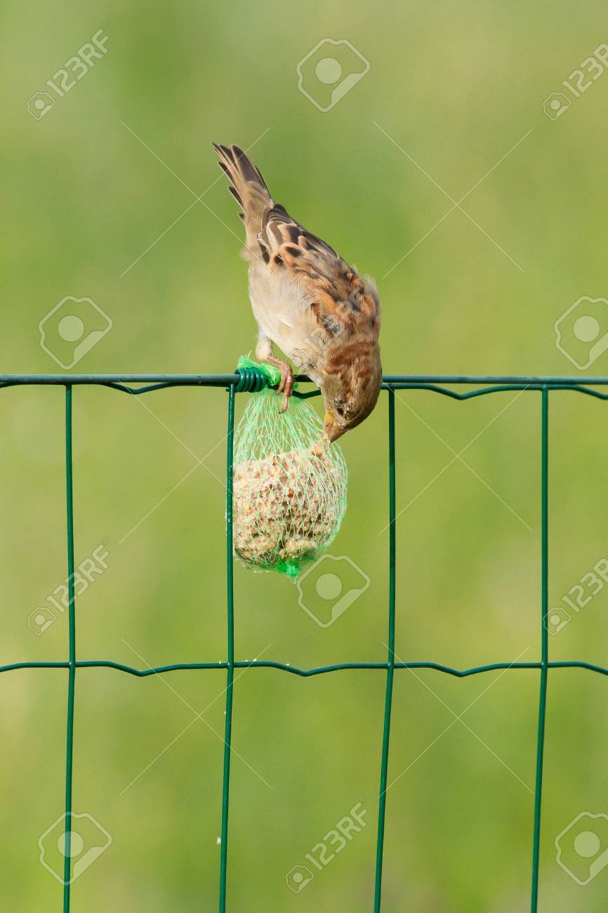 A sparrow is eating on a fence Stock Photo - 12699020