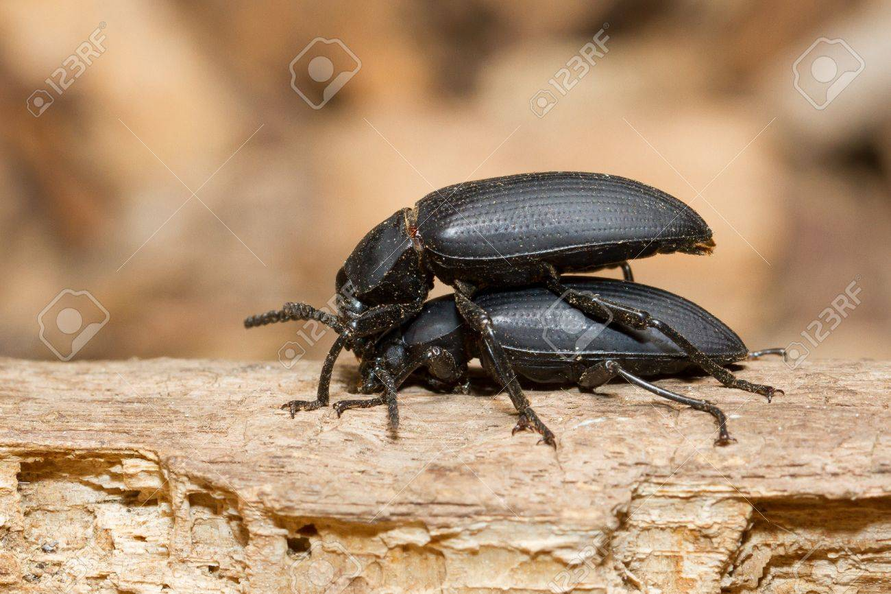 Pairing large black beetles on a piece of wood Stock Photo - 13348313