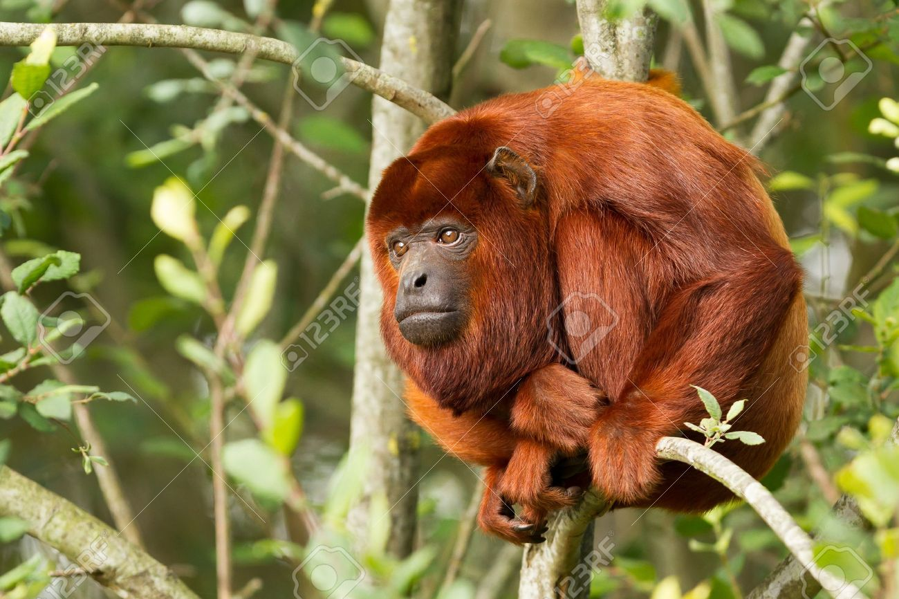 Mantled howler (Alouatta seniculus) resting in a tree Stock Photo - 14976616