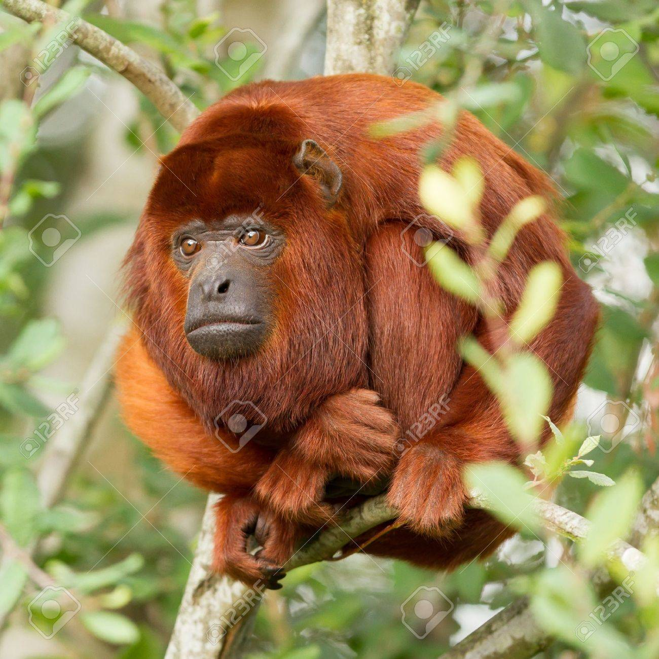 Mantled howler (Alouatta seniculus) resting in a tree Stock Photo - 14976598