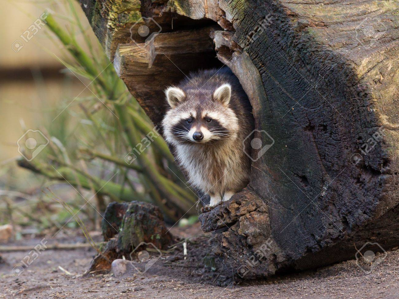 Adult raccoon at his nest, Leeuwarden, Holland Stock Photo - 17733785