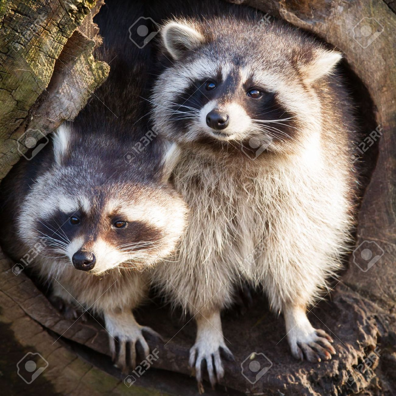 Adult raccoon at his nest, Leeuwarden, Holland Stock Photo - 17733889