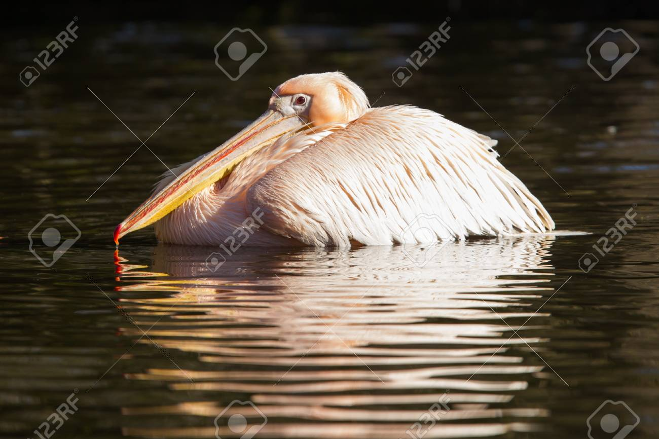 Pink pelican in the water, swimming in a pond Stock Photo - 18248206