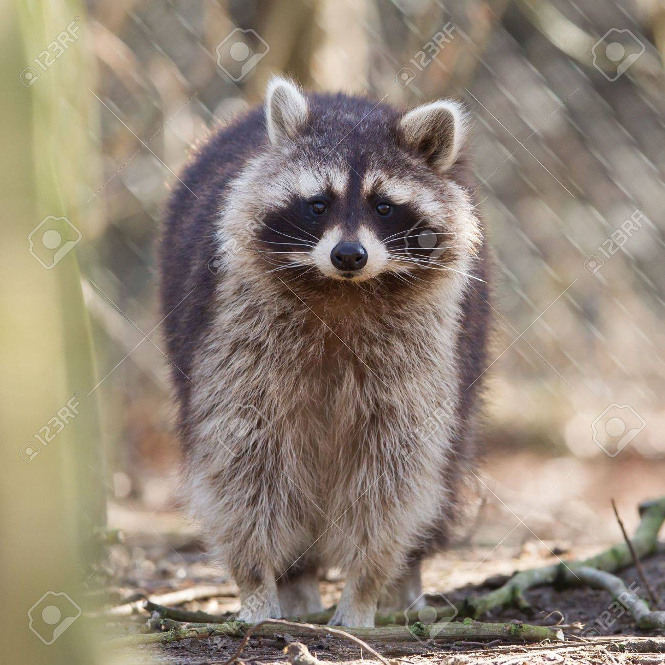 Curious racoon in captivity is staring into the lens Stock Photo - 18296033
