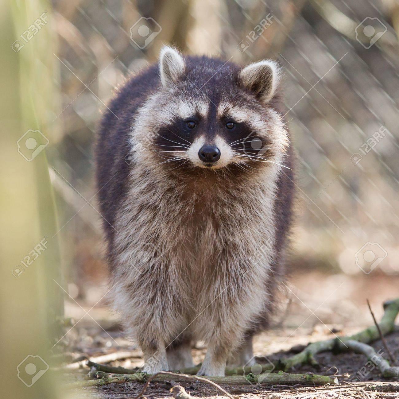 Racoon curieux en captivité est à regarder dans l'objectif Banque d'images - 18296033