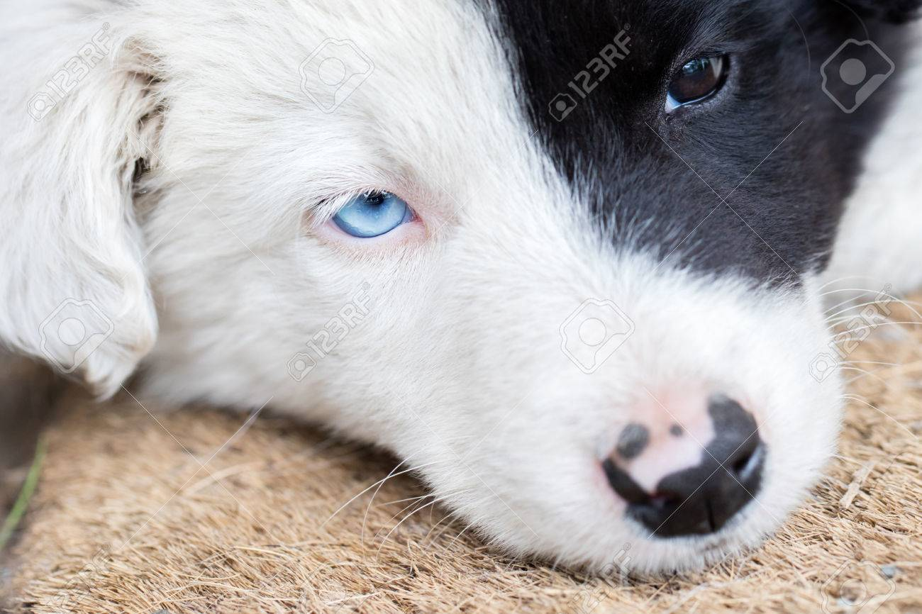 Border Collie Puppy On A Farm One Blue Eye Stock Photo Picture And Royalty Free Image Image 61347762