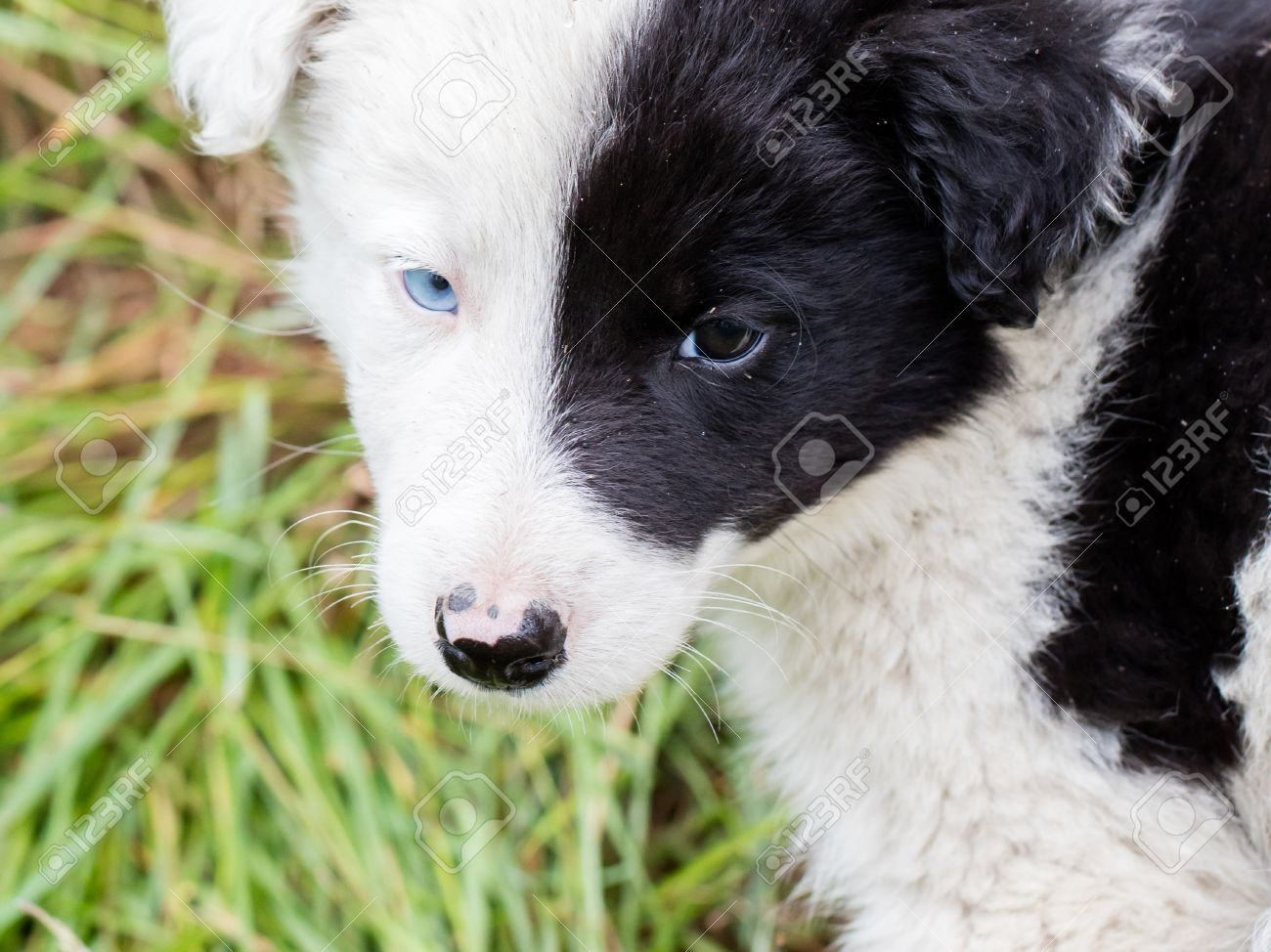 Border Collie Puppy On A Farm One Blue Eye Stock Photo Picture And Royalty Free Image Image 61347781