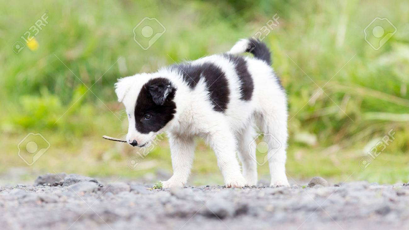 Blue Eyed Border Collie Puppy Stock Photo Picture And Royalty Free Image Image 62007675