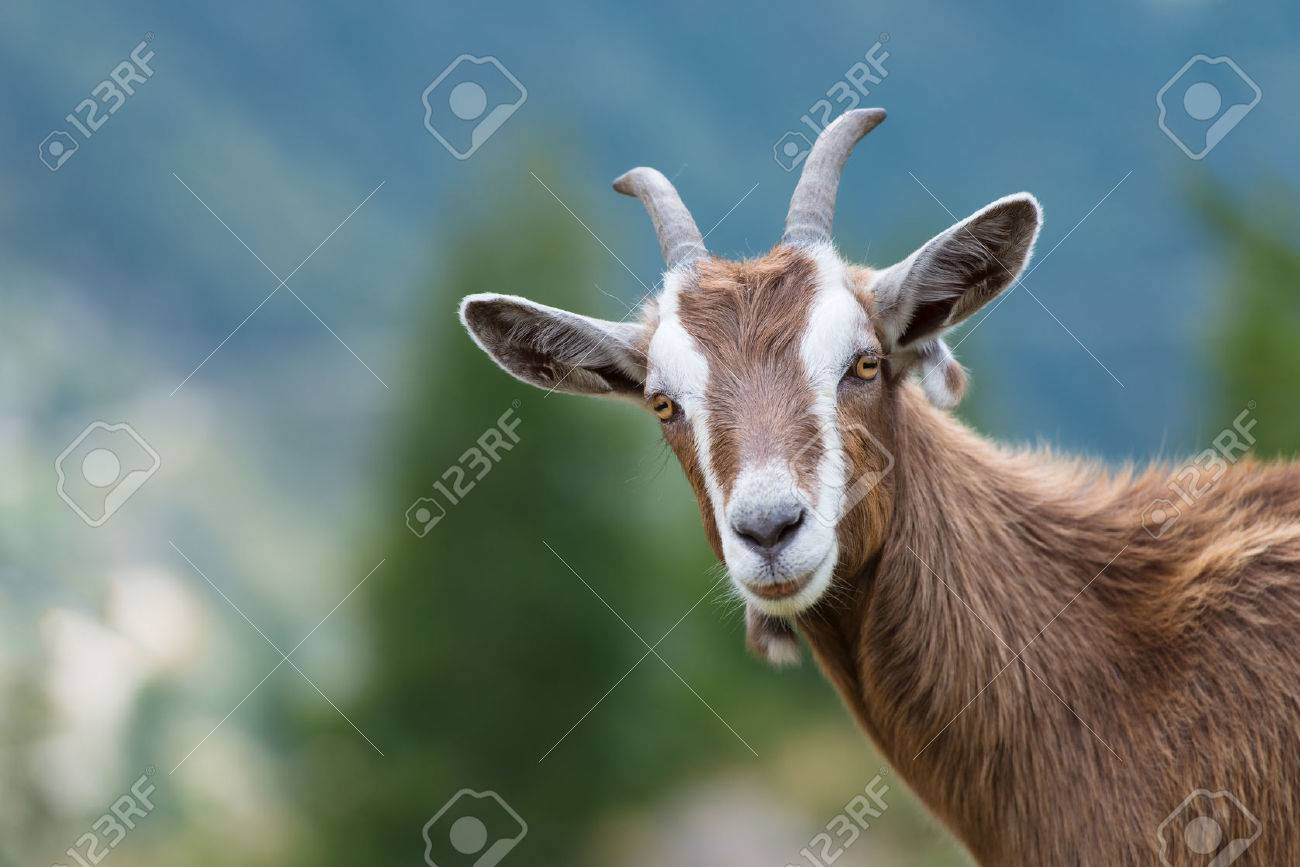 A goat looks at us - 45056605
