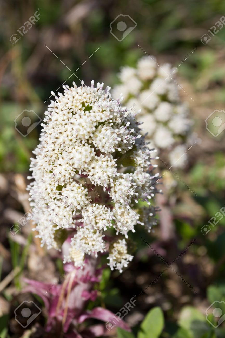 Cluster Of White Flowers Of Wild Plant Tuscany Italy Stock Photo