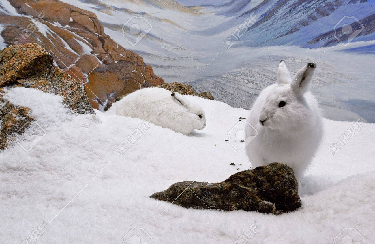 Two arctic hares resting in the mountainous region of Nunavut. Stock Photo - 13113079