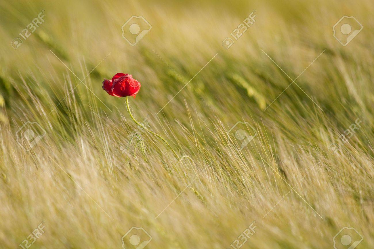 Single poppy in the field Stock Photo - 5050520