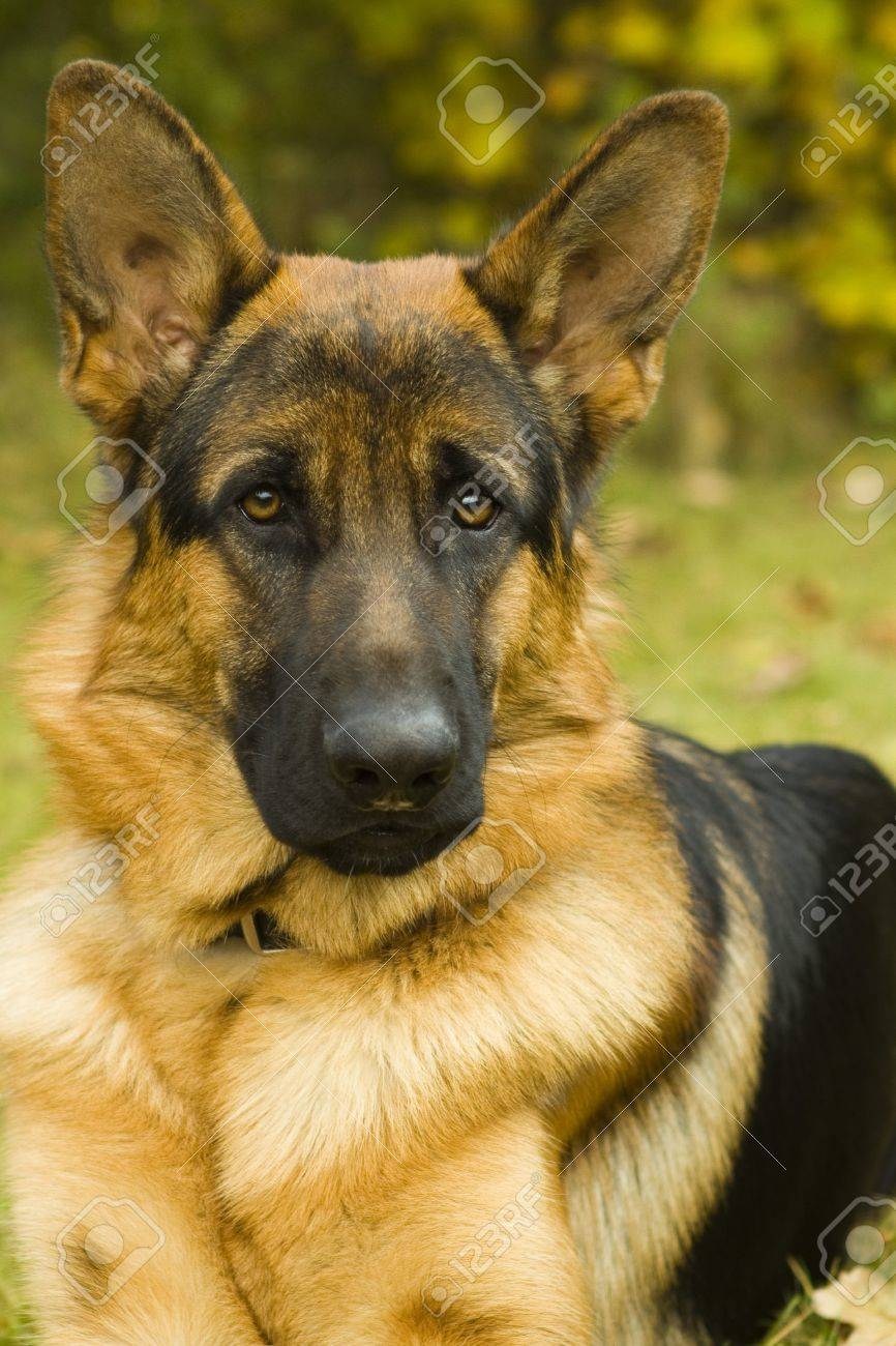 German Shepherd Stock Photo - 7311487