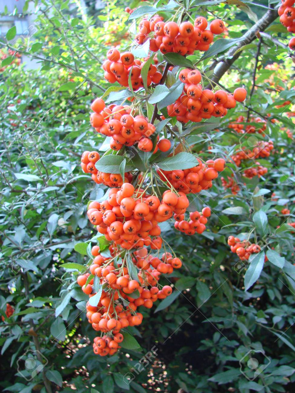Close Up Bunch Of Orange Berries Grow On Rowan Tree In Autumn
