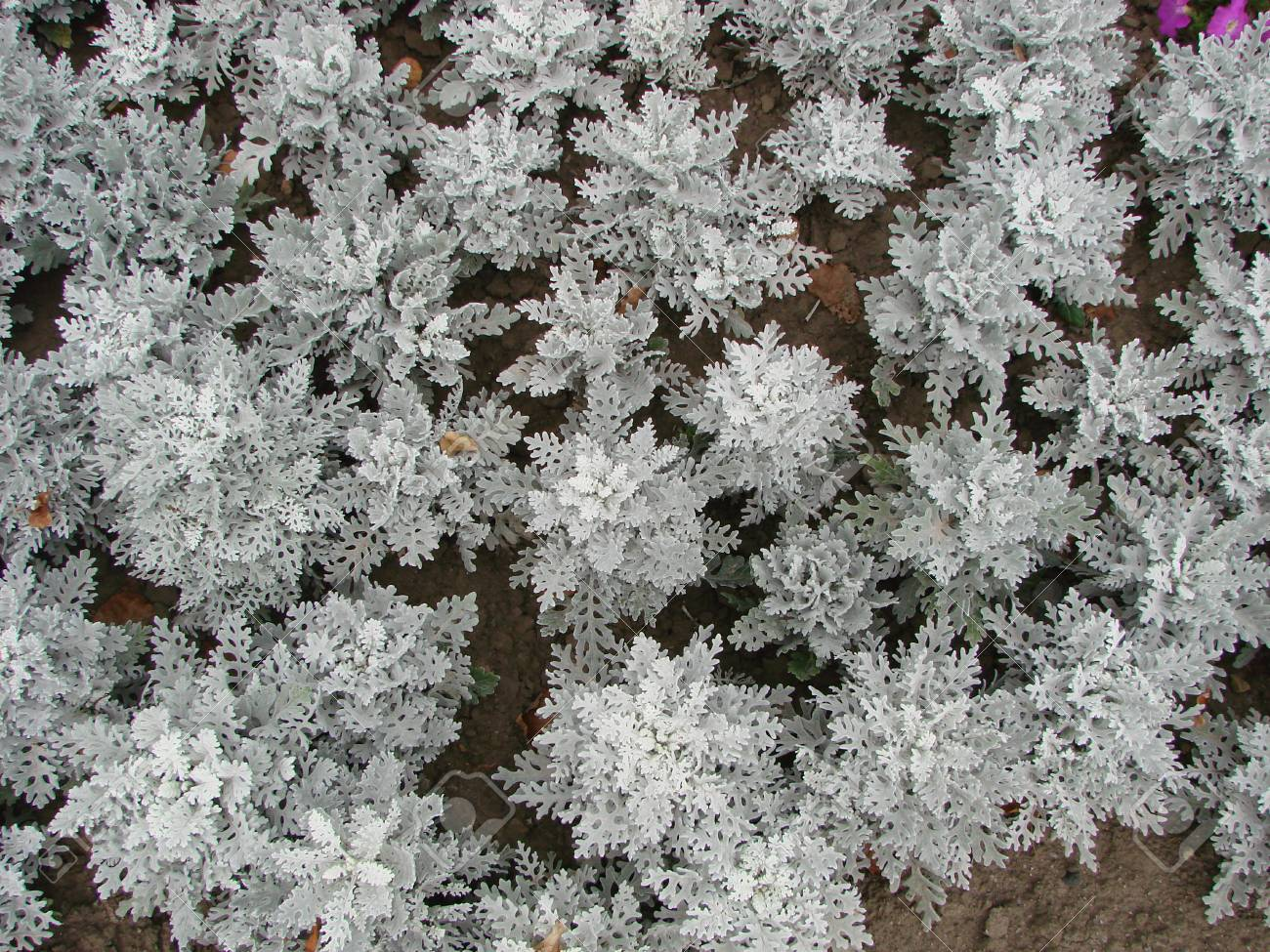 Cineraria Maritima Silver Dust Soft Focus Dusty Miller Plant