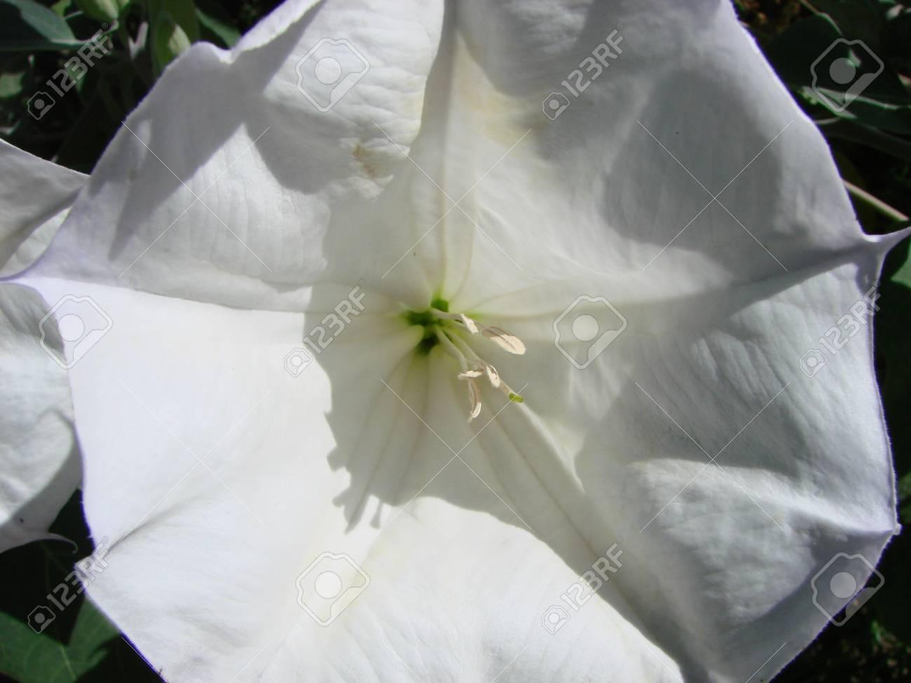 White trumpet shaped flower of hallucinogen plant devils trumpet stock photo white trumpet shaped flower of hallucinogen plant devils trumpet also called jimsonweed latin name datura stramonium mightylinksfo