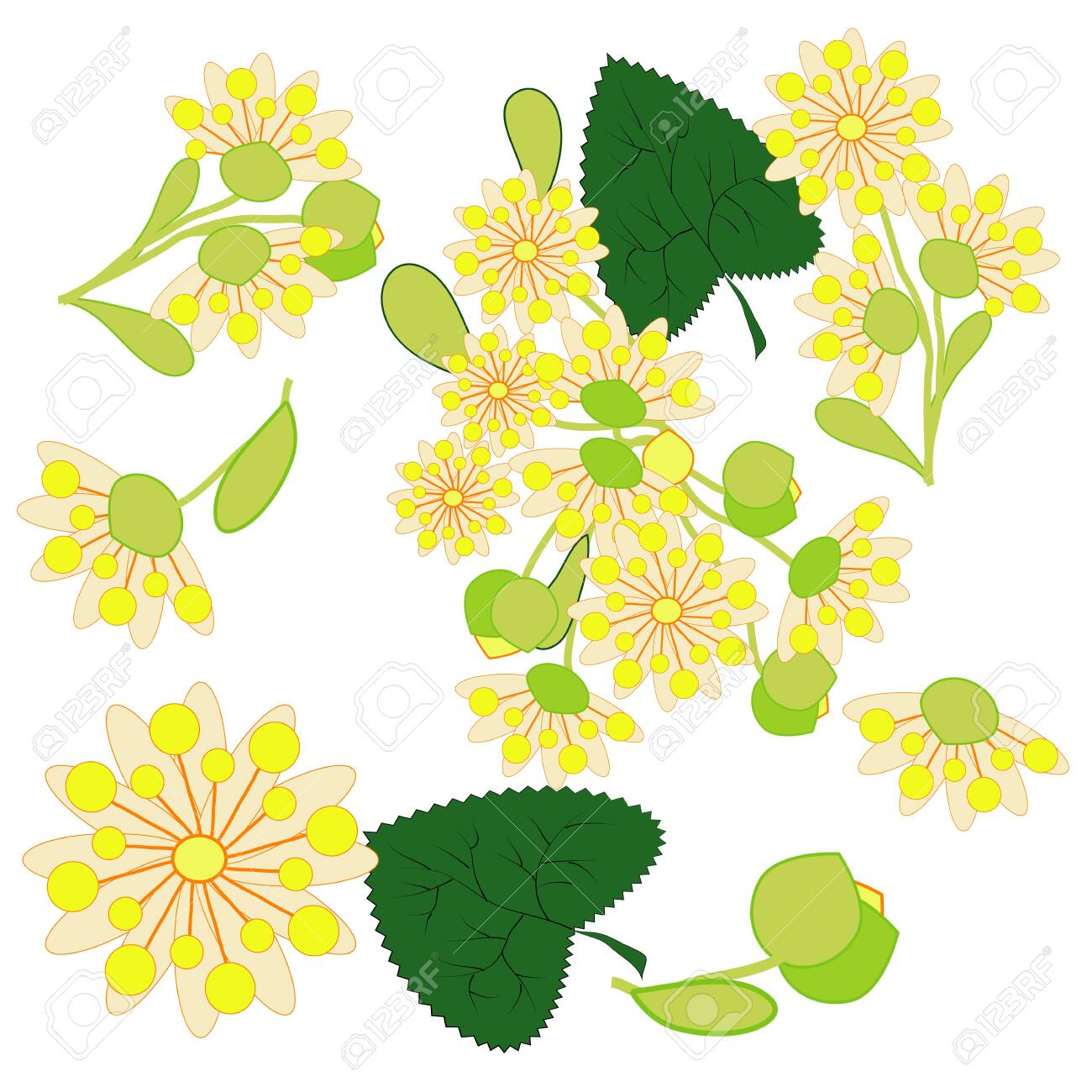 Hand drawn illustration of linden flowers, source of delicious honey and a fragrant herbal tea ingredient - 123274124