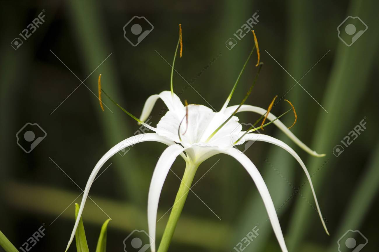 White lily like flower has long skinny petals spider lily stock stock photo white lily like flower has long skinny petals spider lily izmirmasajfo Image collections